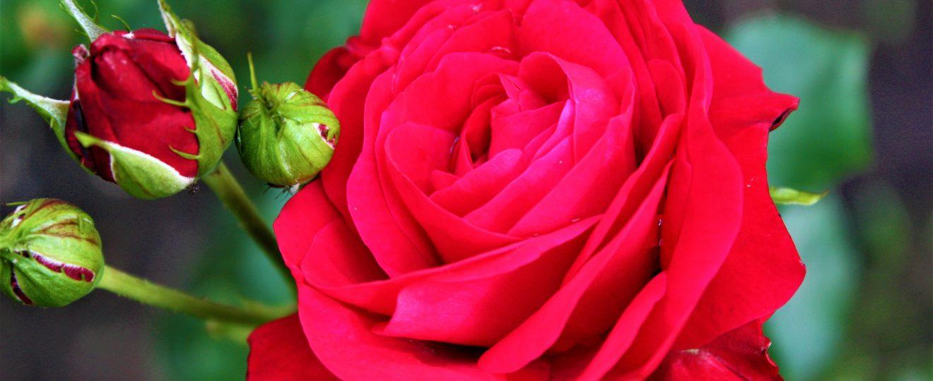 róża wiary
