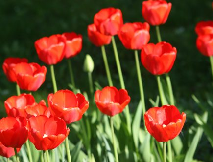 tulipany jackowski