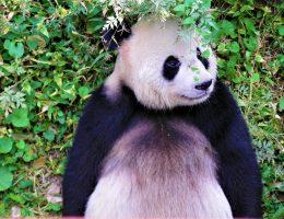 zmartwiona panda